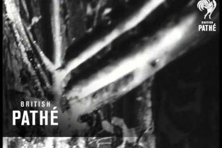 Embedded thumbnail for British Pathé - Pine tree tapping in Hungary. 1967
